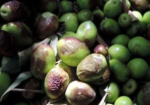 میوه زیتون آلوده به آفت مگس زیتون
