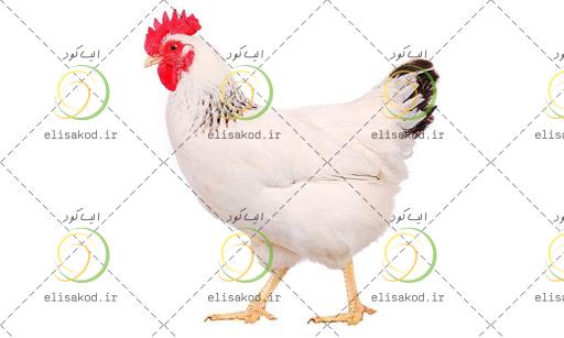 کود مرغی